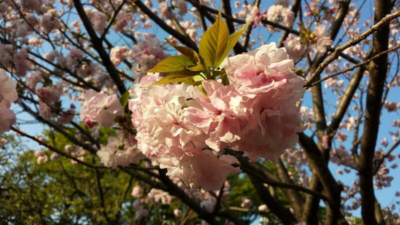 Cherry blossom makadto - Romanian cherry tree varieties ...